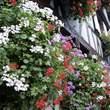 Colmar:花のコルマール