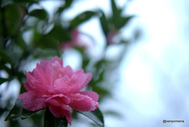 2014/11/01;雨粒が残る花びら;浄妙寺