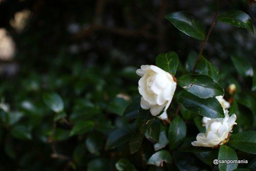 2011/01/09;白椿