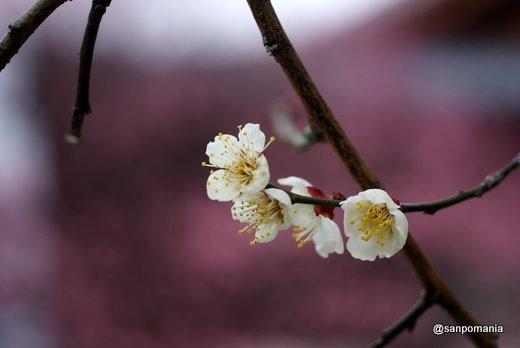 2011/02/13;興正寺の白梅