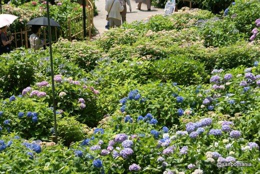 2011/06/25;三室戸寺のアジサイ園