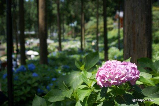 2011/06/25;三室戸寺のアジサイ