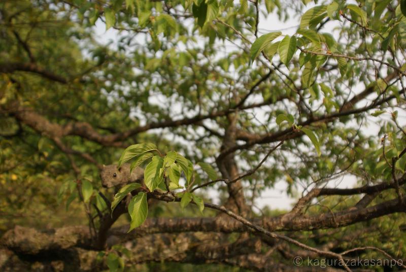 kamakura_hachimangu_20110505-162559.jpg